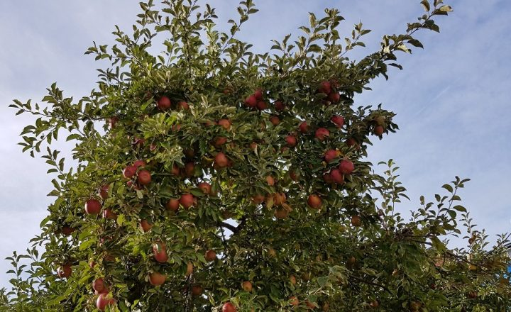 Plocka äpplen nu, trädet ska beskäras efter helgen